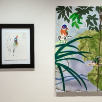 Blue-capped Wood Kingfisher and museum study