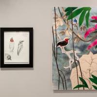 Borneo Bristlehead and museum study
