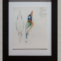 Blue-capped Wood Kingfisher museum study