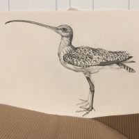 detail: Long-billed Curlew