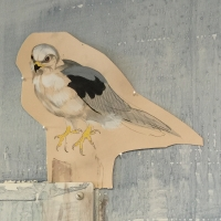 detail: White-tailed Kite