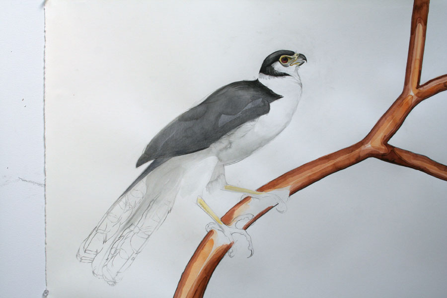 collared-forest falcon