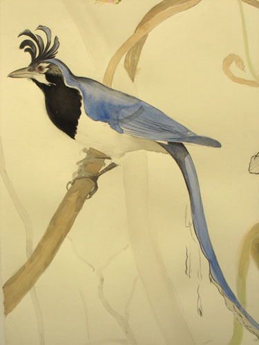 detail: black-throated magpie-jay