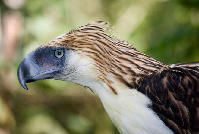 Even in captivity, a Philippine Eagle is a stunning sight to behold with its shaggy crest and huge size.
