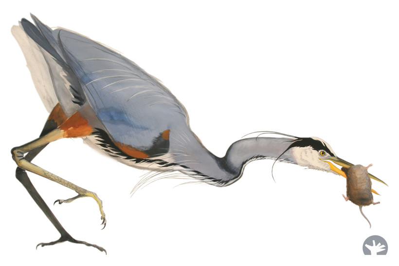 David Tomb will lead nature walks and bird-drawing workshops at the Baylands, home to many species, including great blue herons. Image courtesy of David Tomb.